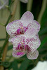 Two moth orchids, white and purple