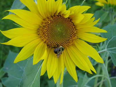 Sunflower & Bubmle bee