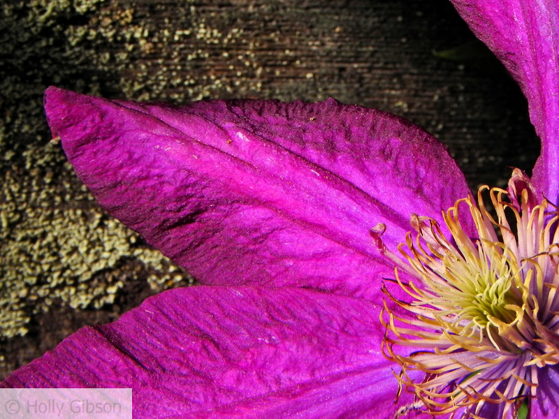 Clematis petal against wooden fence - 113