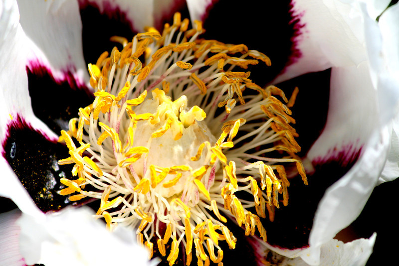 Close up of our white Peony..really covered in pollen. <br /> Love the purple and the yellow contrast