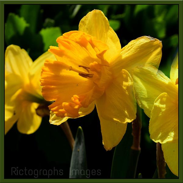 Yellow Daffodil, Spring Flower,