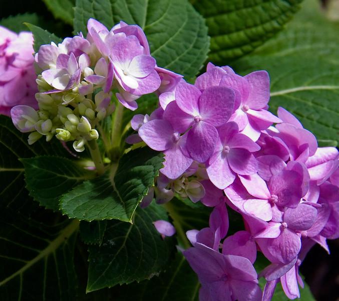 Mauve Hydrangea flower