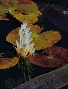 Lily Pond - Mission San Juan Capistrano, Ca