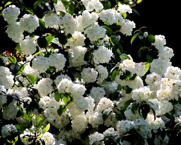 This lovely viburnum is completly covered in blooms on a warm spring day in June 2011.