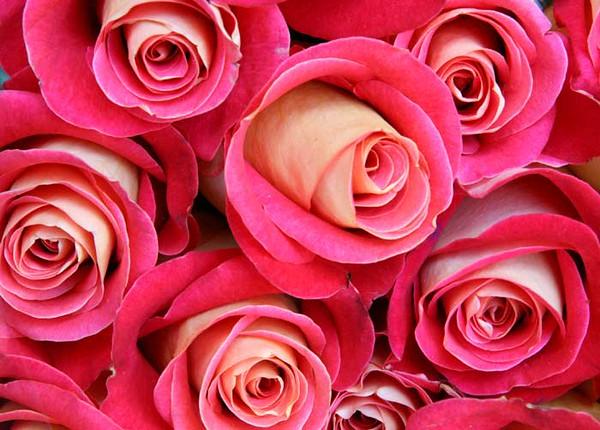 rose2_6726