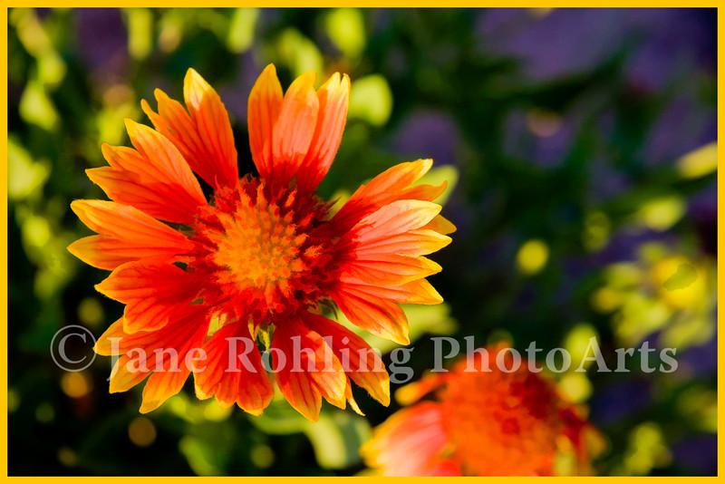 galiardia (Indian blanket flower)