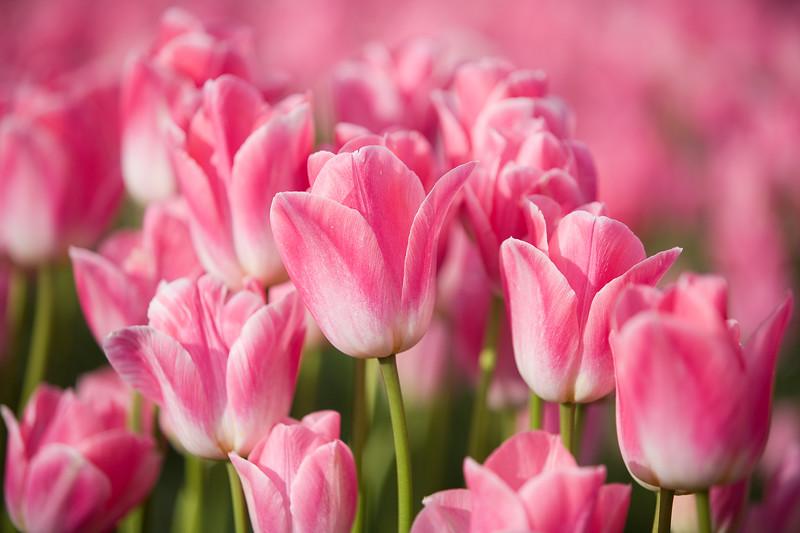 Tulips_04_16_10_0008