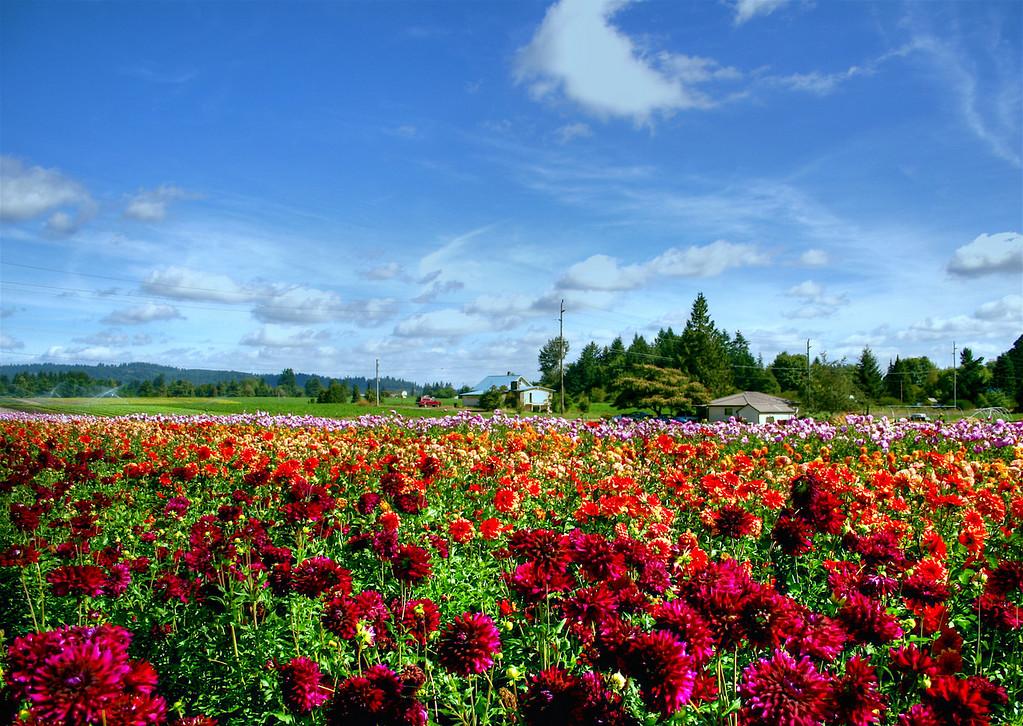 Dahlia Fields