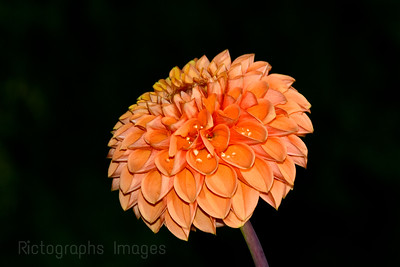 Orange-Pink Dahlia