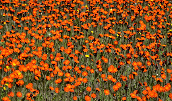 Beautiful Orange Wildflowers