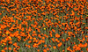 Beautiful Orange Wildflowers