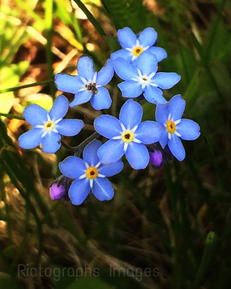 Forget Me Not Flowers, Nature Wildflowers,Rictographs Images