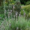 Lavandula dentata<br /> Orto Botanico di Roma.<br /> Rome, Italy.<br /> French Lavender