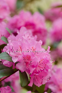 A pink PJM rhododendron in full bloom