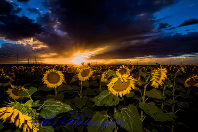 these sunflowers are only about a mile east of work.