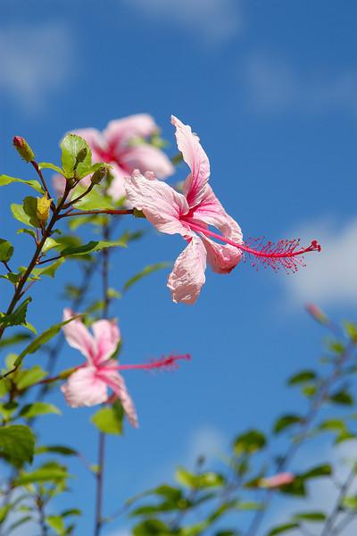 Blue Sky Hybiscus