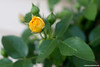 Yellow Rose Bud 2
