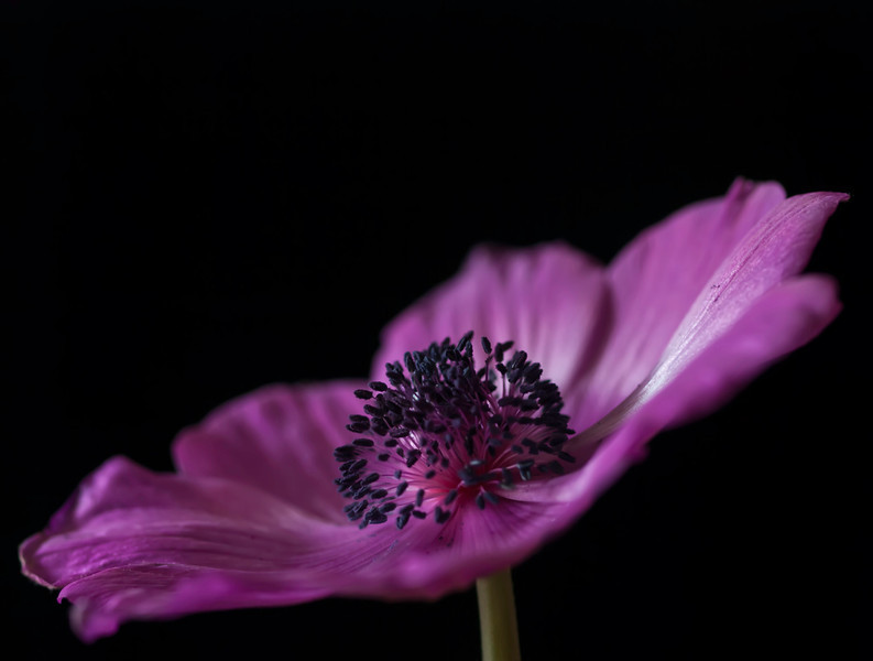 "<font color=""#e9efb7"">Pink Anemone"