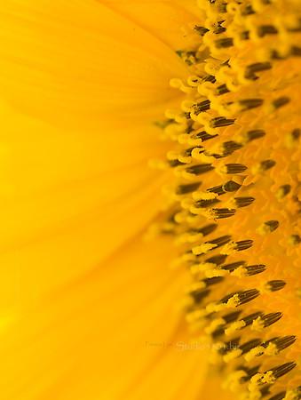 Sunflower center 1200 yel