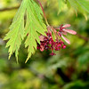 Fingers of a Japanese maple show the flowers and the new lime green leaves.