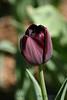 1592 - Tulip