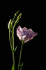 Lisianthus in profile