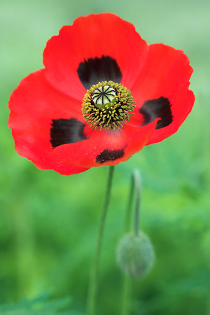 Papaver communtatum Ladybird Poppy early summer Hardy's Cottage Garden Plants