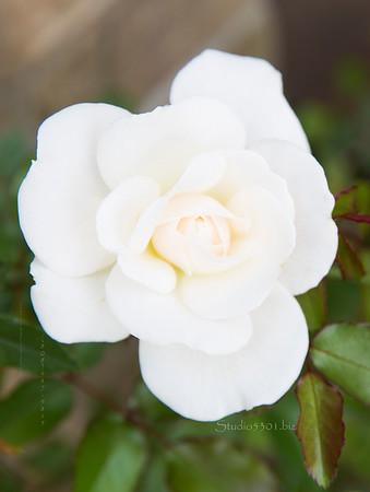White Rose 8021 0215