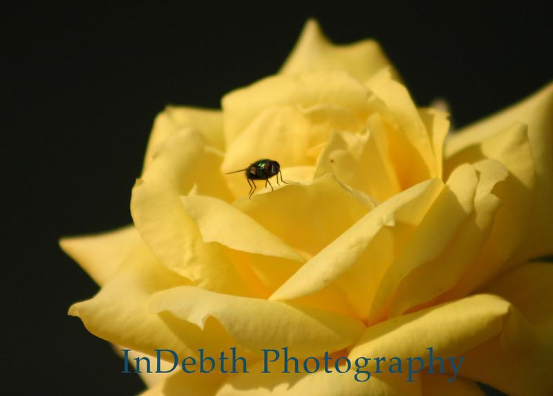 4509 - Flower-fly