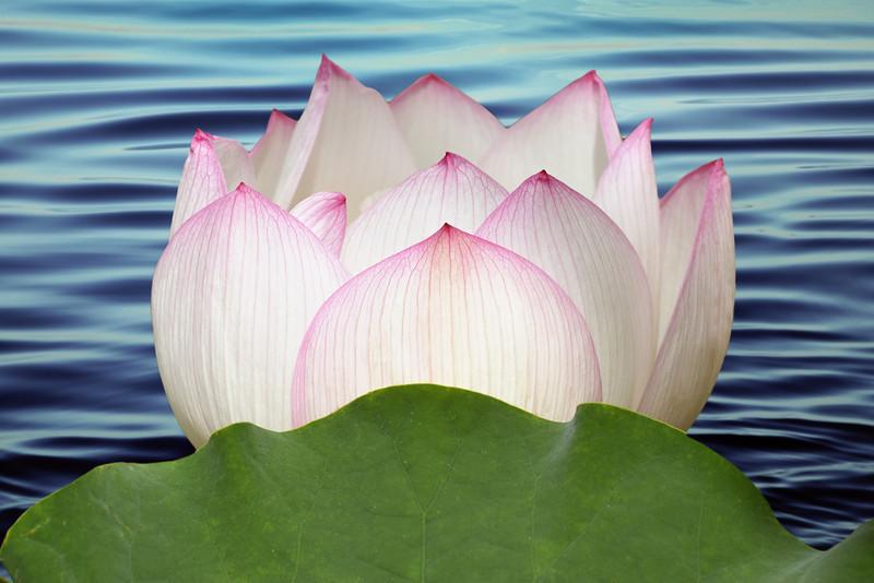 Nelumbo nucifera 'Pale Face'<br /> Lotus flower<br /> Royal Botanic Gardens, Sydney.
