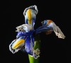 Wilting Iris