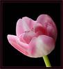 April Tulip (58051151)