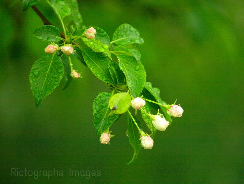 Wet Spring Apple Blossoms