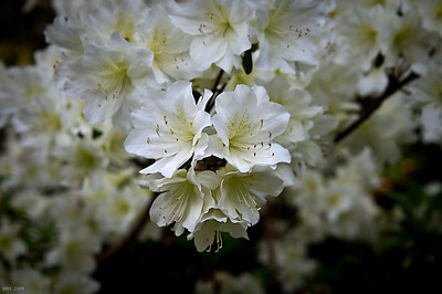 White Azaleas May'09