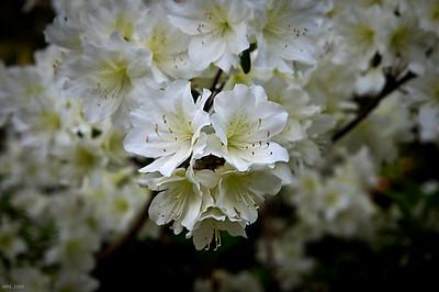 White Azaleas May'09