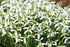 Snowdrop (Galanthus).  Snowdrops close up image.