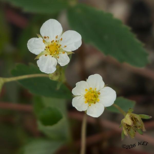 Alpine Strawberry Blossoms
