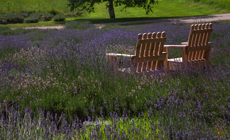 Among the Lavender