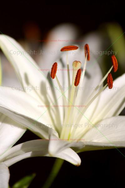 White Lily,