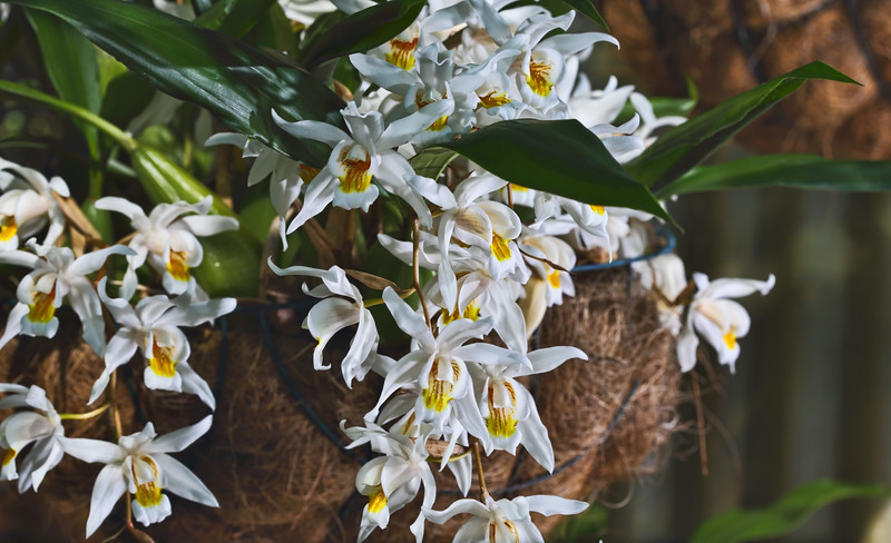Orchard - Coelogyne mooreana (Brockhurst)