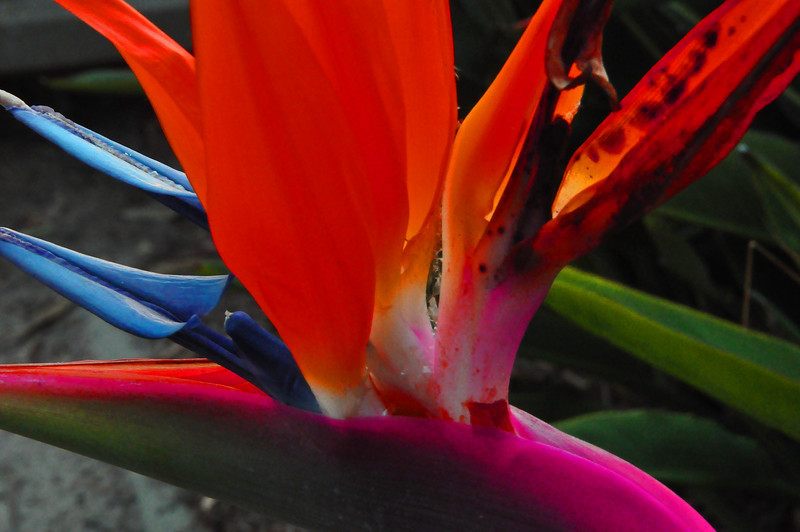 Bird of Paradise, Santa Monica, CA