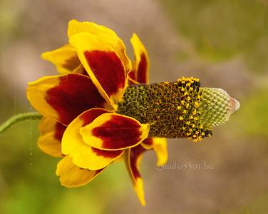 red yellow flower 2293cf DEx ProC fol