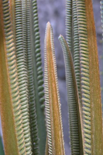 Cycad leaves