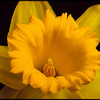 Close-up of an all yellow daffodil on a black background