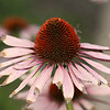 Last of the cone flowers..after the rain.