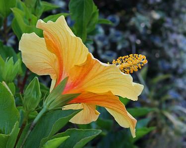 Hibiscus in Old Westbury Gardens
