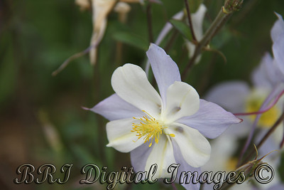 Blue And White Columbine
