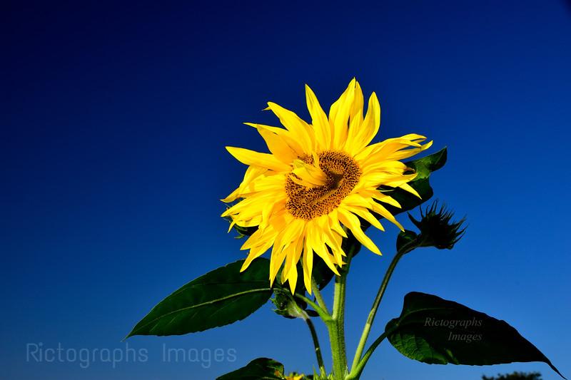 A Beautiful Sunflower, Summer 2020