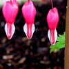 Well spring is finally starting up here in the cold northwest..<br /> Wonder why they call these bleeding hearts?