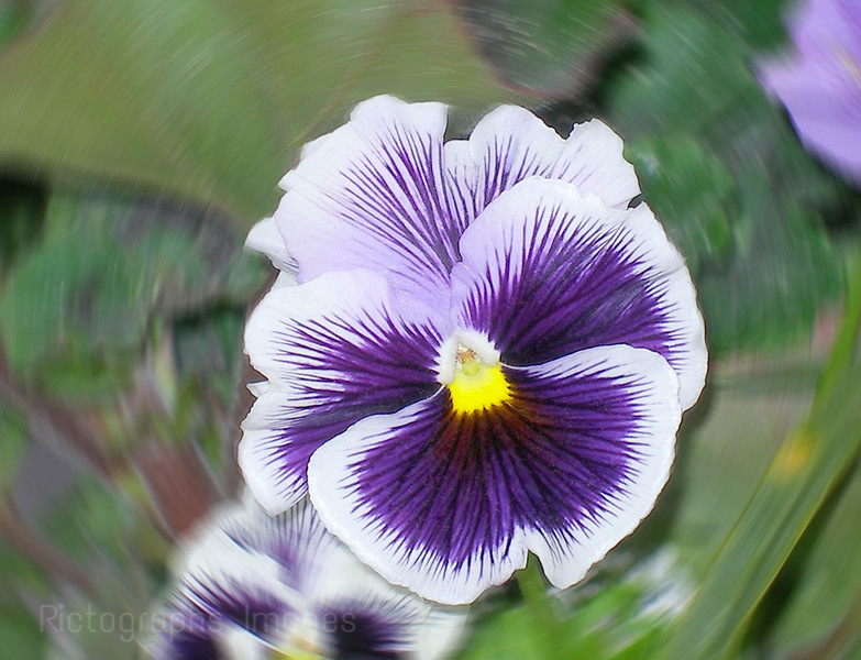 Purple & White Pansy Flower